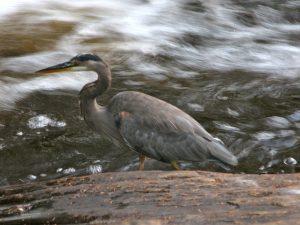 2009 09 12 Great Blue Heron in Arrowhead Provincial Park